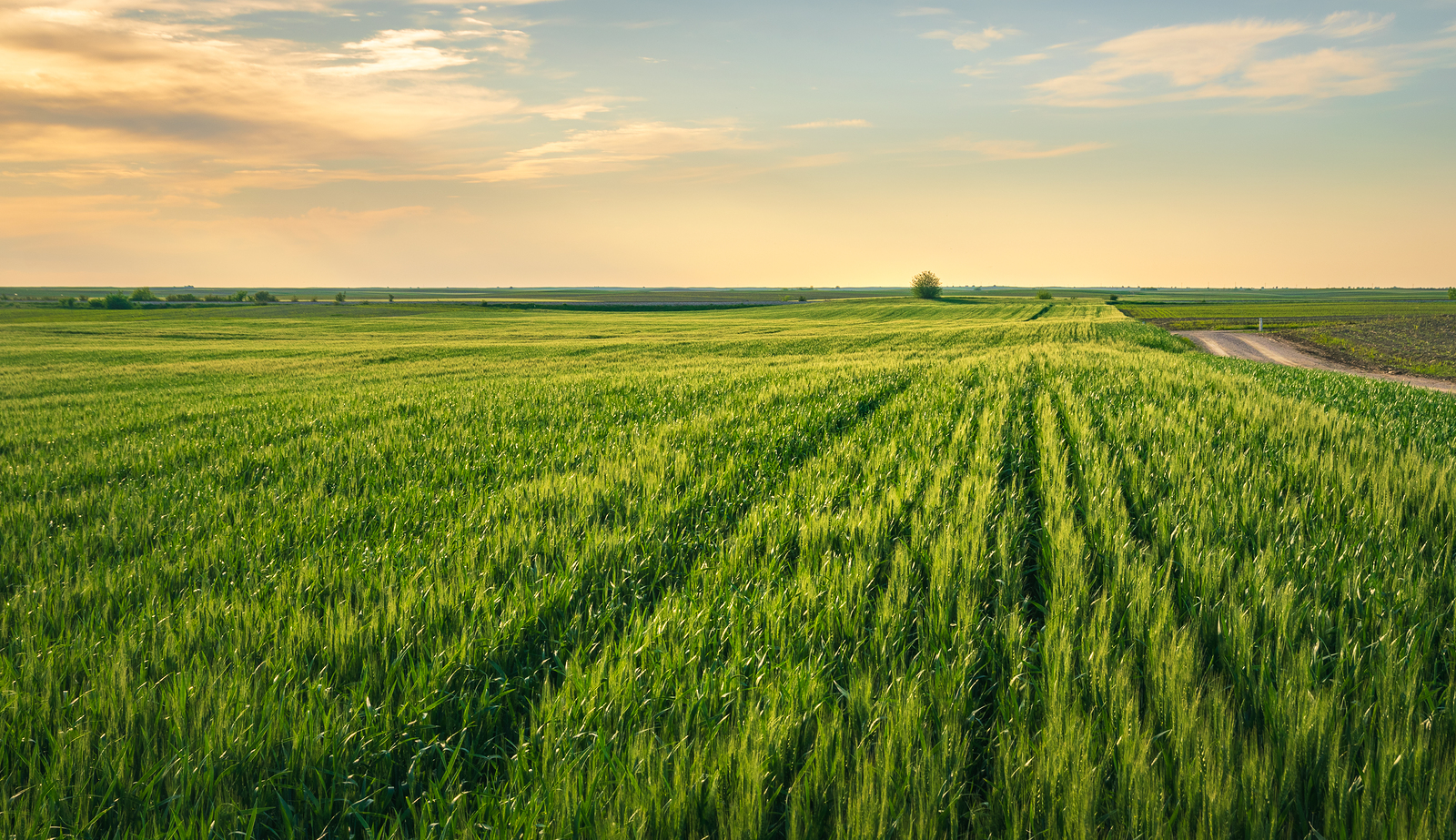 Wheat Field In Countryside. Sunset In Countryside Fields. Green